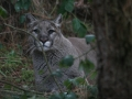 20051217_WildlifeImages_Cougar_3282Wallpaper