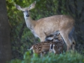 20100720-Deer_2122-16x20