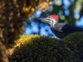 20130906-CoastTrip-Pileated Woodpeckerimg_2789