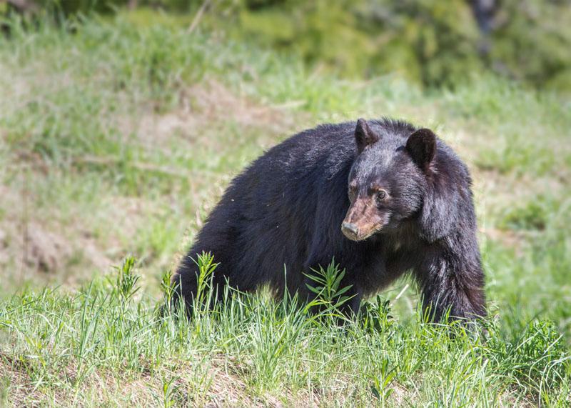 20160507-CallaghanCreek3018-Bear-10x14