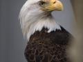 20060310_eagle_8052_7x9Crop