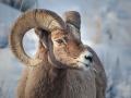 20100220-Yellowstone3539-BigHorn16x20