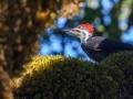 20130906-CoastTrip-Pileated Woodpeckerimg_2789